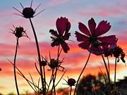 Judy Via-Wolff - Cosmo Sunset