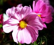 Purple Flowers - Cosmos by Cathie Tyler