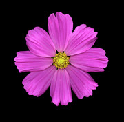 High Resolution Prints Prints - Cosmos Print by Christopher Gruver