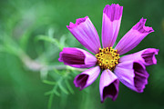 Aster  Framed Prints - Cosmos Flower Framed Print by Neil Overy
