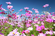 Aster Prints - Cosmos Flowers Print by Neil Overy