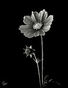 Flower Photos Posters - Cosmos in Black and White Poster by Endre Balogh
