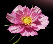 Photography.  Prints - Cosmos In Pink Print by Gitpix