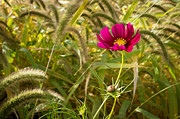 Wisconsin Wildflowers Prints - Cosmos in the Weeds Print by Bill Pevlor