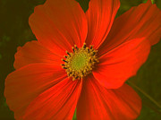 Fruehling Framed Prints - Cosmos Framed Print by Juergen Weiss