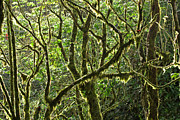 Forest Floor Prints - Costa Rican Canopy Print by Matt Tilghman