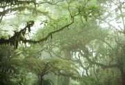 Rainforest Metal Prints - Costa Rican Cloud Forest Metal Print by Matt Tilghman