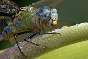 Animals And Insects Photos - Costa Rican Dragonfly by Piotr Naskrecki
