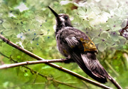 Costa Mixed Media Framed Prints - Costa Rican Hummingbird  Framed Print by Elaine Manley