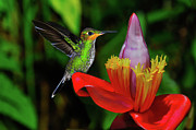 Hummingbird Prints Prints - Costa Rican Hummingbird Print by Harry Spitz