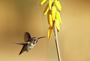 Wildflower Photography Posters - Costas Hummingbird At Yellow Desert Flower Poster by Susan Gary