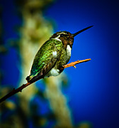 Costa Prints - Costas Hummingbird Print by Robert Bales