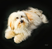 Coton Prints - Coton de Tulear - Button Print by Fred J Lord