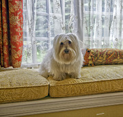 Coton Photo Framed Prints - Coton de Tulear Framed Print by Madeline Ellis