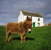 Bungalows Prints - Cottage And Donkey, Tory Island Print by The Irish Image Collection 