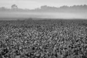 Cotton And Fog Print by Michael Thomas