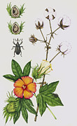 Boll Prints - Cotton Boll Weevil And Cotton Plant Print by Lizzie Harper