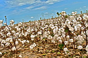 Cotton Field Posters - Cotton Eyed by Joe Poster by Chuck Taylor