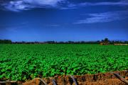 Agriculture Digital Art Originals - Cotton Field Being Irrigated by Mark Hendrickson