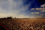 Cotton Photo Prints - Cotton Field Print by Scott Pellegrin