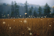 Pods Framed Prints - Cotton Grass, Sedges And A Red Spruce Framed Print by Raymond Gehman