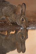 Hector D Astorga - Cottontail Rabbit...