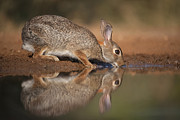 Hector D Astorga - Cottontail Reflection