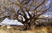 Kathy McClure - Cottonwood Tree at San...