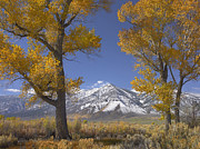 Snow-covered Landscape Prints - Cottonwood Trees Fall Foliage Carson Print by Tim Fitzharris