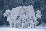 Cottonwood Trees With Frost Print by Skip Brown