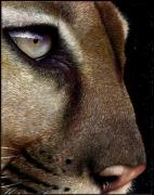 Wildlife Art Painting Posters - Cougar Poster by Jurek Zamoyski