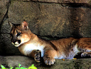 Ledge Photos - Cougar Watching by Nick Gustafson