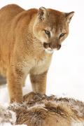 Wild Animals Art - Cougar With Fallen Prey by Richard Wear