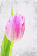 Tulip Mixed Media - Couleur by Angela Doelling AD DESIGN Photo and PhotoArt