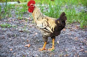 Roosters Photos - Country Boy by Jan Amiss Photography