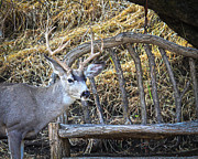 Blending Photos - Country Buck by Steve McKinzie