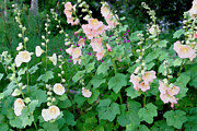 Hollyhocks Photos - Country Garden - soft by ShaddowCat Arts - Sherry