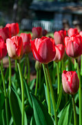 Red Tulips Prints - Country Red Tulips Print by Marcie Adams Eastmans Studio Photography