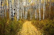 Fallen Leaf Photos - Country Road and Aspens 2 by Ron Dahlquist - Printscapes