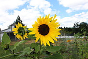 Yellow Barn Acrylic Prints - Country Sunflower Acrylic Print by Oriyan Phipps