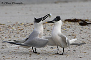 Tern Originals - Courtship by Barbara Bowen