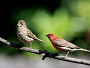 House Finch Prints - Courtship In Nature . 40D8073 Print by Wingsdomain Art and Photography