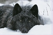 Roosting And Resting Prints - Covered With Snow Flakes, A Gray Wolf Print by Jim And Jamie Dutcher