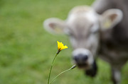 Cow Bell Posters - Cow and a flower Poster by Mats Silvan