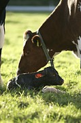 Attending Framed Prints - Cow And Newborn Calf Framed Print by Bjorn Svensson