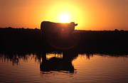 Reflecting Water Prints - Cow at Sundown Print by Picture Partners and Photo Researchers