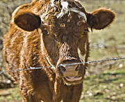 Susan Leggett Metal Prints - Cow at the Fence Metal Print by Susan Leggett