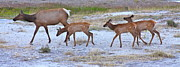 Calves Prints - Cow Elk and Three Calves Print by Karon Melillo DeVega