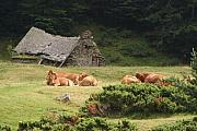 Alp Photos - Cow Family Pastoral by Dagmar Ceki
