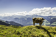 Graubunden Framed Prints - Cow Grazing On Grassy Hillside Framed Print by Manuel Sulzer